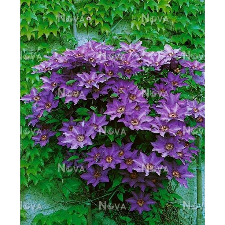 the president clematis ground covers and vines pinterest. Black Bedroom Furniture Sets. Home Design Ideas