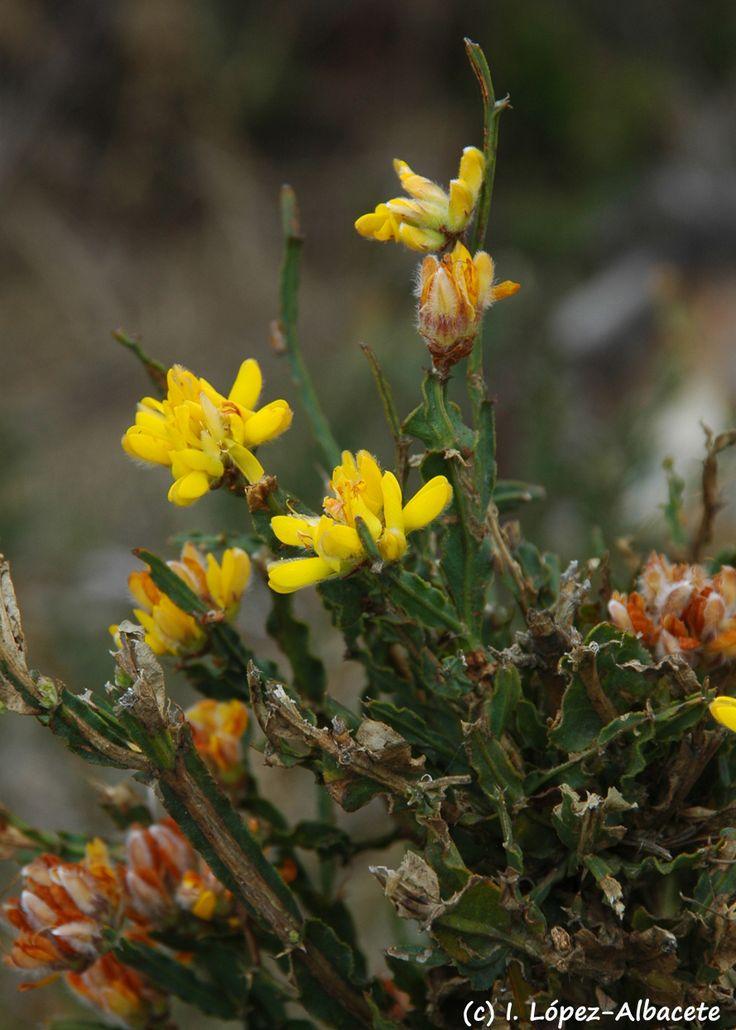 flores son amarillas y dispuestas en cimas terminales Crece en de