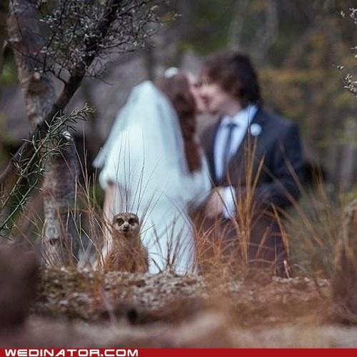 Meerkat photo bomb!