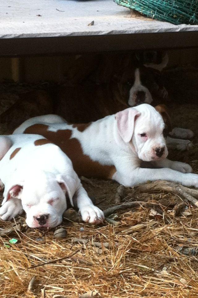 Baby boxer puppies | Gotta love boxers | Pinterest