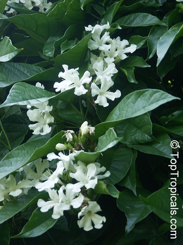 Pin by cindy hamlin on garden pinterest - Climbing plants that produce fragrant flowers ...