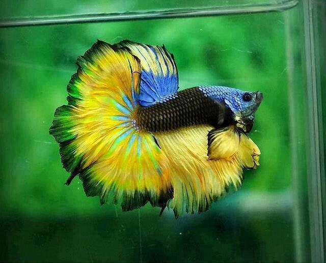 Halfmoon beta fish beta fish pinterest for What is a beta fish