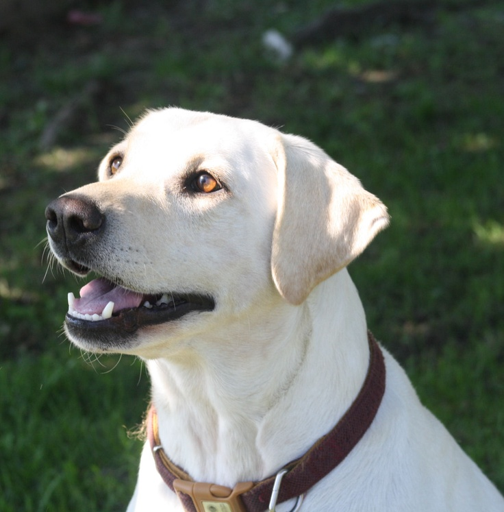 Labrador RetrieverWhite And Yellow Labrador Retriever