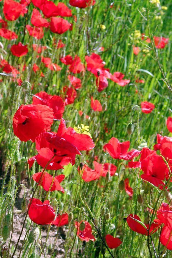 Poppies | I Love Flowers Too | Pinterest