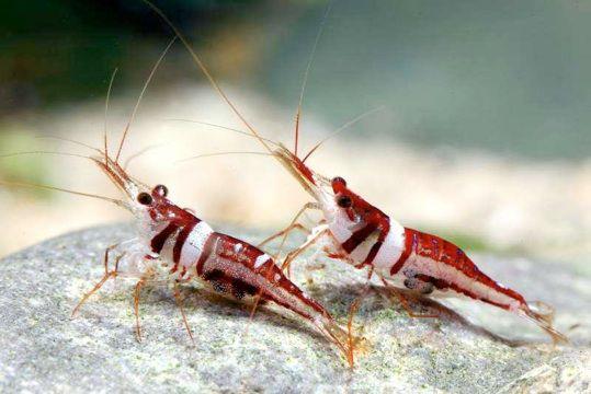 Sulawesi Harlequin Shrimp Freshwater Inverts Pinterest