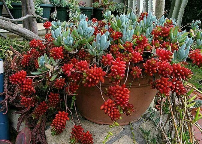 Sedum Rubrotinctum | container gardening | Pinterest