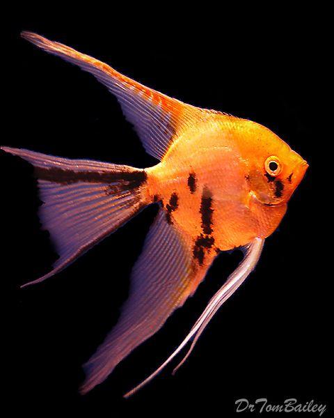 Gold marble angelfish aquariums pinterest