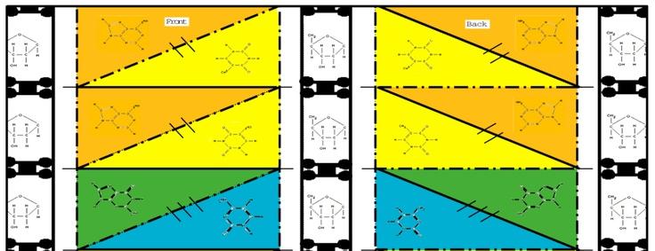 Origami Dna Model Pdf | ORIGAMI Maker Easy