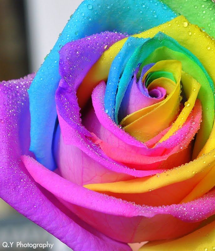 Rainbow rose gardening pinterest for Pics of colourful roses