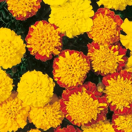 Pinned by Karmen Hos  233 French Marigold Dwarf
