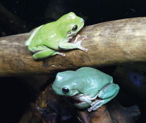 Baby dumpy tree frog - photo#14