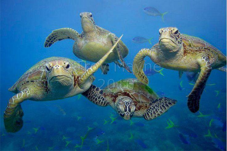 swimming sea turtles Turtles Pinterest