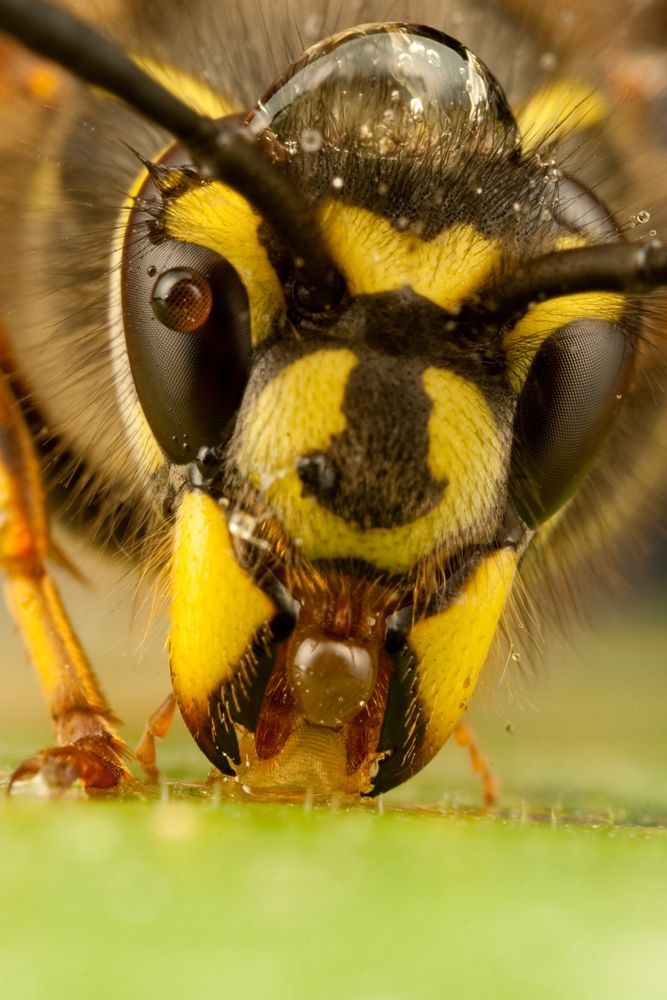 Queen Wasp 2010 - 4 | Beautiful bees and other pollinators | PinterestQueen Wasp