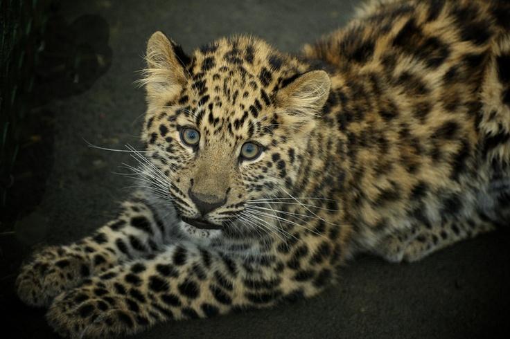Leopard Cub Pictures