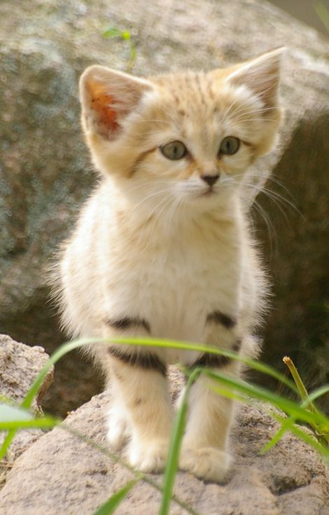 Curious baby sand cat