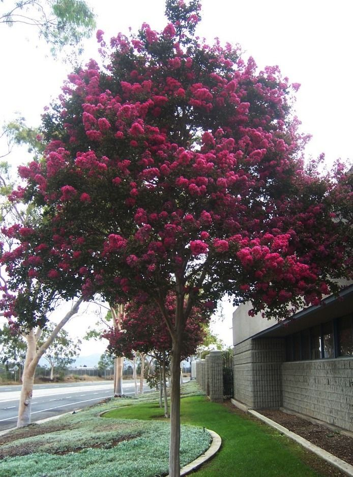 Crape myrtle 39 tuscarora 39 trees for landscaping pinterest for Small hardy trees