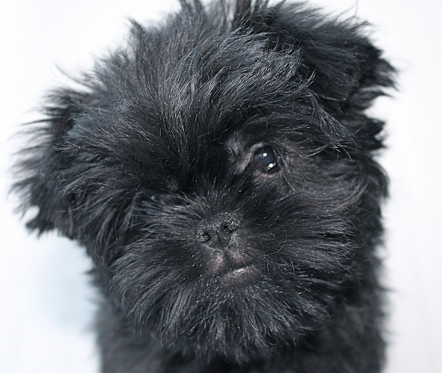 Affenpinscher Dog | Pictures Dogs | Pinterest