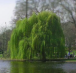 I Love Weeping Willow Trees