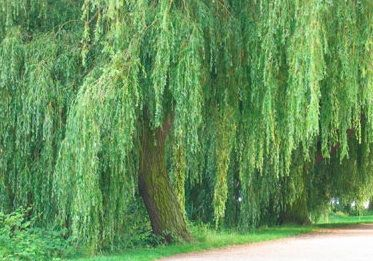 weeping willows are gorgeous...