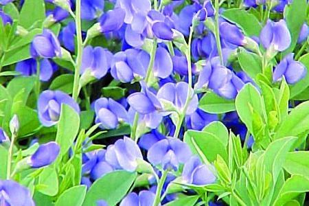 Baptisia australisYellow Baptisia Australis