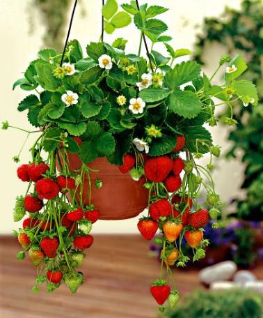 Strawberries growing in a hanging basket.