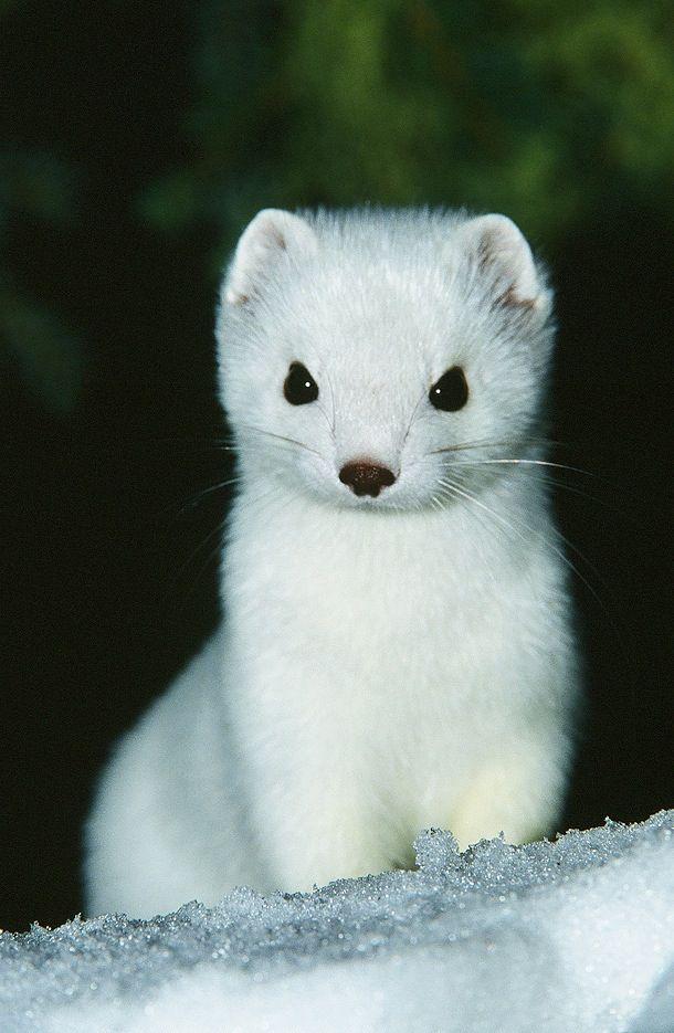 White ermine animal cuteness pinterest