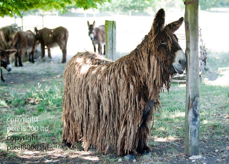 Poitou Donkey Curly Critters Pinterest