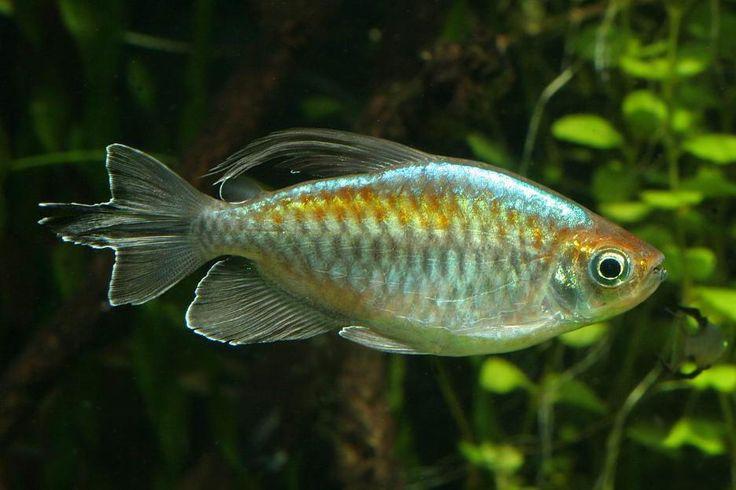 Congo Tetra/Phenacogrammus interruptus (Male, females do not have the ...