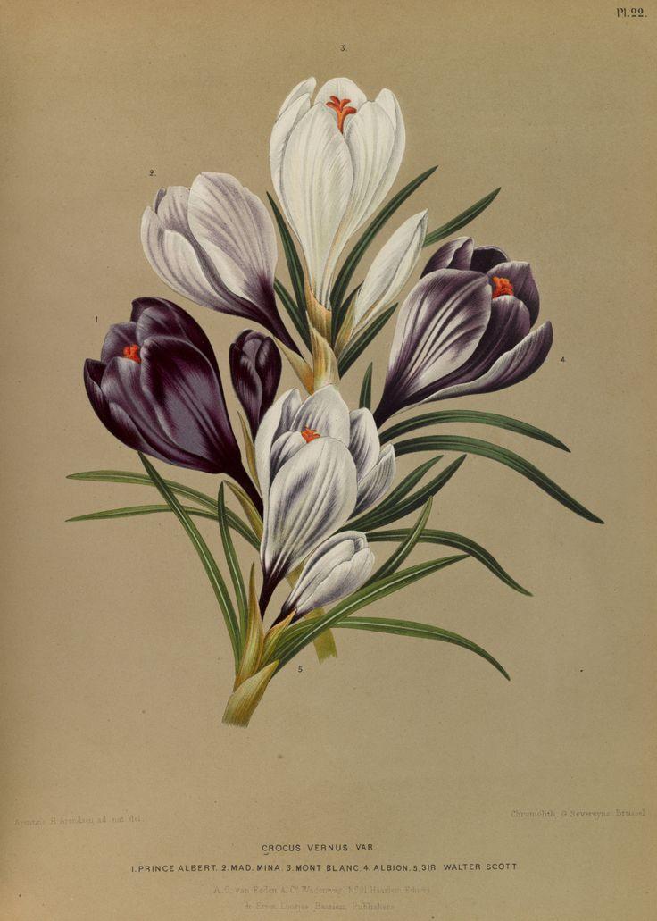 Crocus vernus - circa 1881
