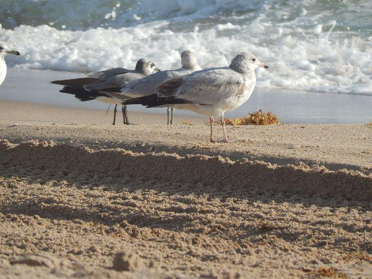 Female seagull - photo#12