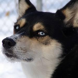 Siberian Husky Rottweiler mixSiberian Husky Rottweiler Mix