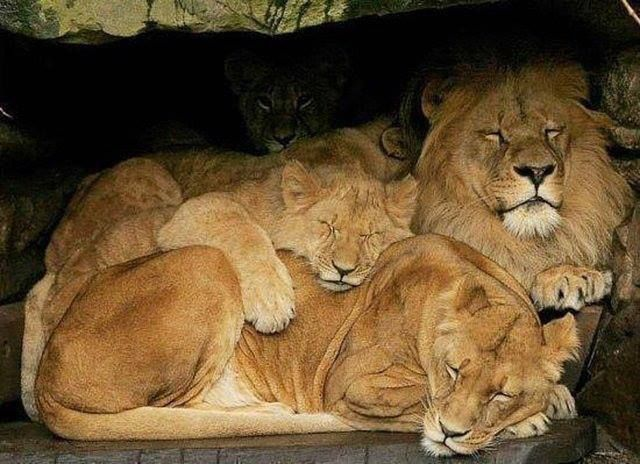 Lion cuddles... | Things I like | Pinterest