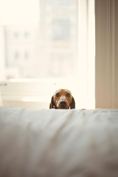 "Hiding Dachshund Did someone say ""Vet?"""