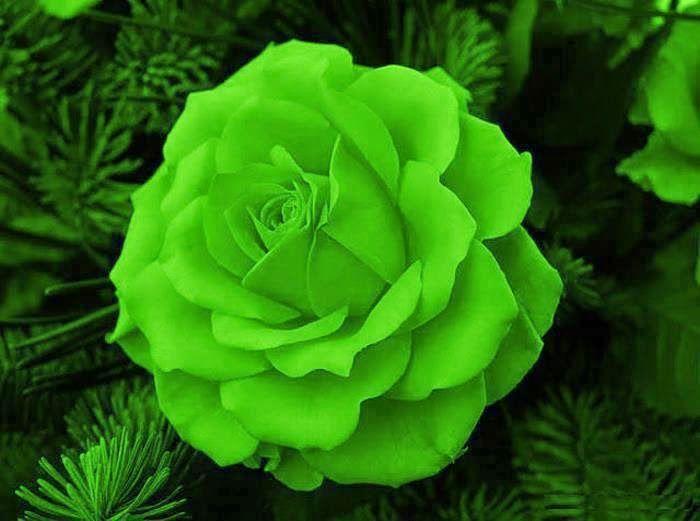 Hermosos paisajes rosas verdes rosas flores hermosas - Rosas rosas hermosas ...