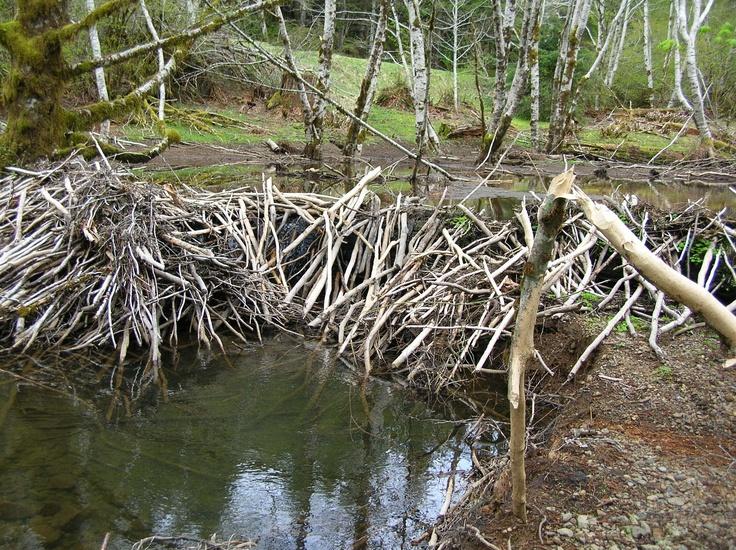 Inside a beavers dam - photo#28