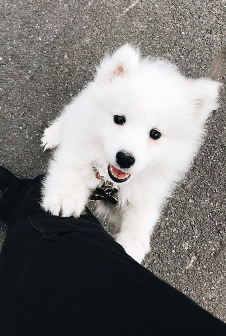 Samoyed Puppies For Sale  Samoyed Breed Profile