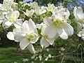 Cornus florida - Wikipedia, the free encyclopedia