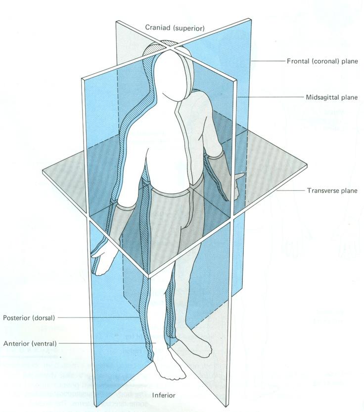 Planes of the body anatomy