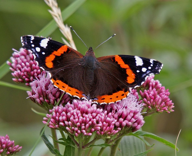 Red Admiral Butterfly. | Butterflies | Pinterest