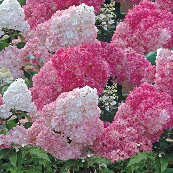 vanilla strawberry hydrangea flowers pinterest. Black Bedroom Furniture Sets. Home Design Ideas