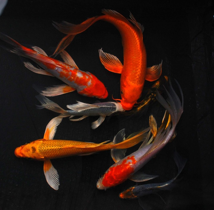 Standard large butterfly koi fish for Koi fish water