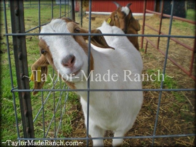 Kiko boer cross goats - photo#22