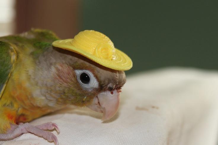 Pineapple green cheek conure