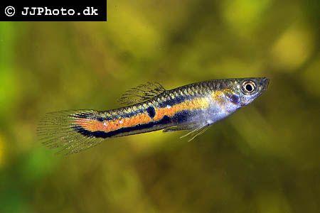 Parae : Poecilia parae fishes Pinterest