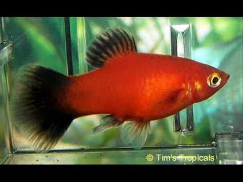 platy fish care tropical fish tanks pinterest