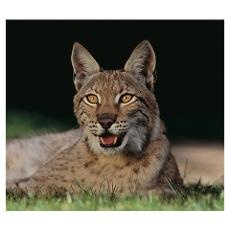 Siberian Lynx Poster | Wild / Domestic Cats | Pinterest
