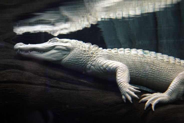 Albino Alligator 1996  IMDb