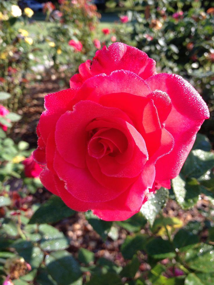 let freedom ring rose bella rosa pinterest. Black Bedroom Furniture Sets. Home Design Ideas