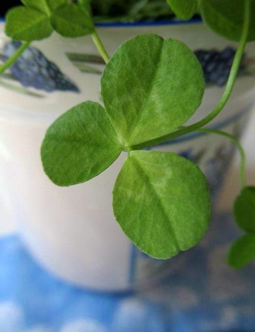 Shamrock plant my emerald isle pinterest - Shamrock houseplant ...