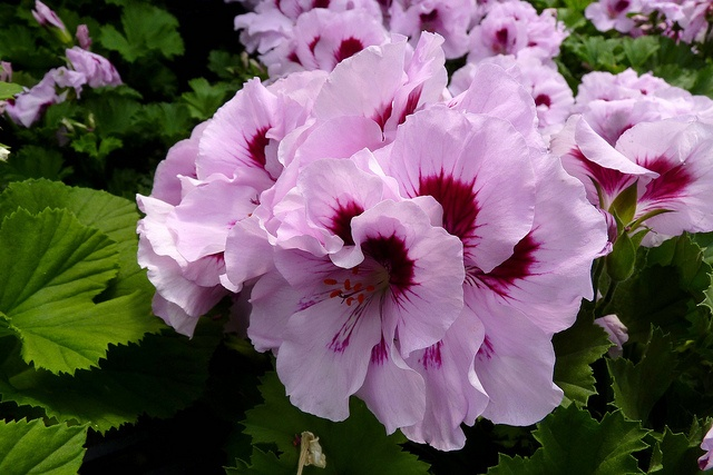 Martha washington geraniums to dress up your deck or patio gardening is cheaper than therapy - Care geraniums flourishing balcony porch ...